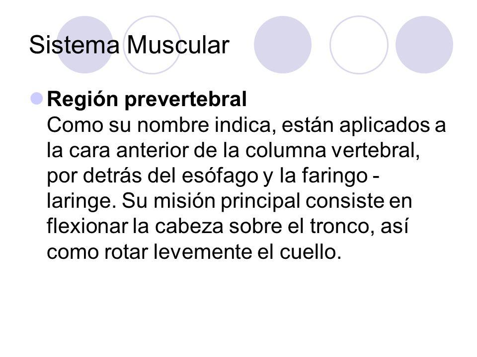 Sistema Muscular Región prevertebral Como su nombre indica, están aplicados a la cara anterior de la columna vertebral, por detrás del esófago y la faringo - laringe.