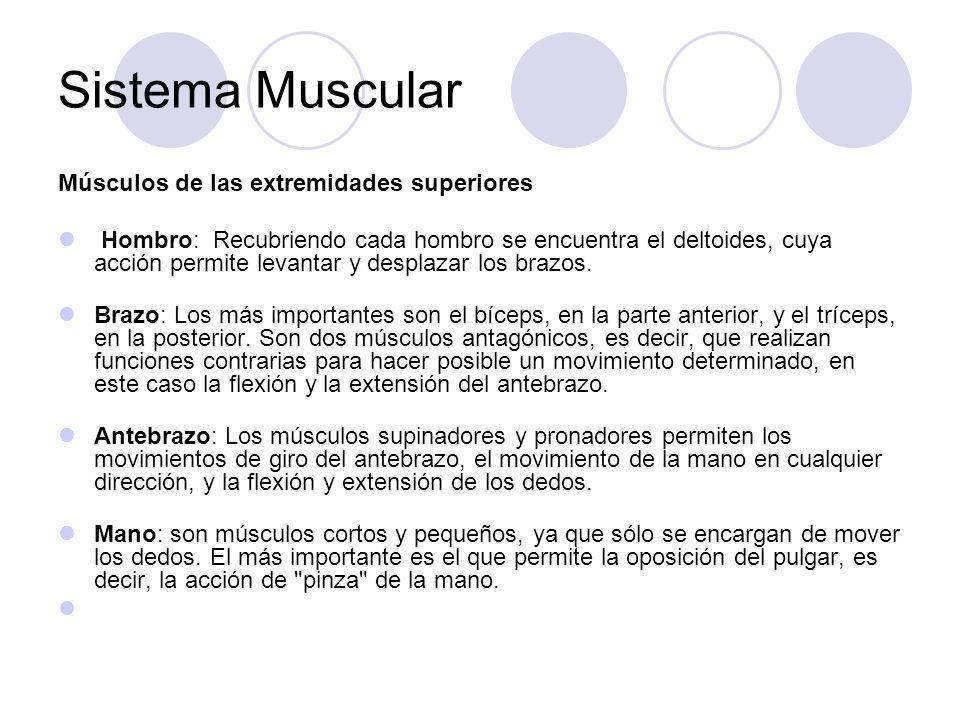 Sistema Muscular Músculos de las extremidades superiores Hombro: Recubriendo cada hombro se encuentra el deltoides, cuya acción permite levantar y desplazar los brazos.
