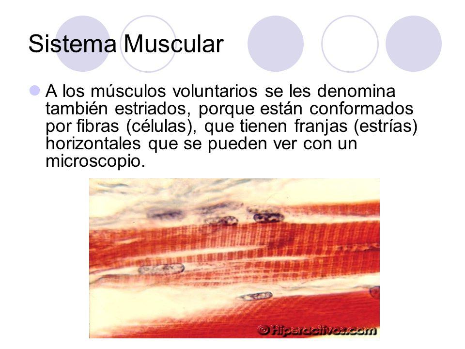 Sistema Muscular A los músculos voluntarios se les denomina también estriados, porque están conformados por fibras (células), que tienen franjas (estrías) horizontales que se pueden ver con un microscopio.