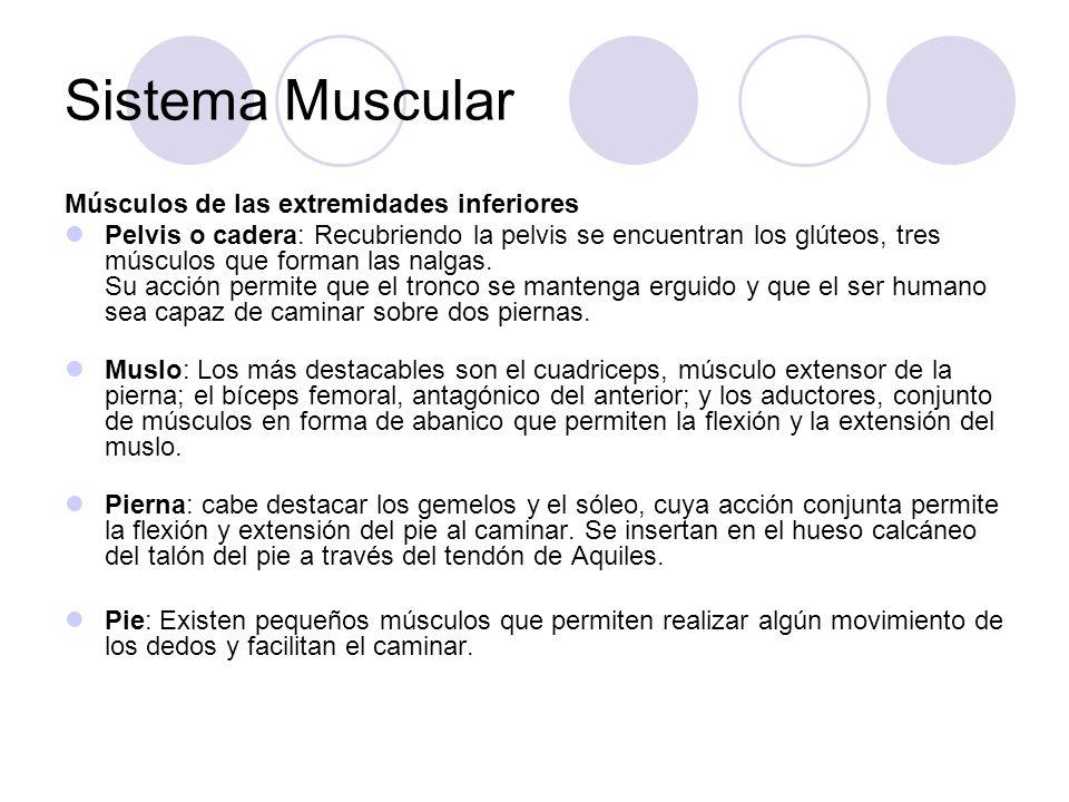 Sistema Muscular Músculos de las extremidades inferiores Pelvis o cadera: Recubriendo la pelvis se encuentran los glúteos, tres músculos que forman las nalgas.