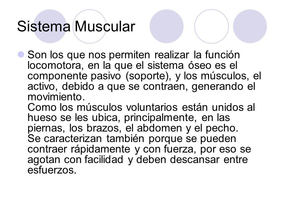 Sistema Muscular Son los que nos permiten realizar la función locomotora, en la que el sistema óseo es el componente pasivo (soporte), y los músculos, el activo, debido a que se contraen, generando el movimiento.