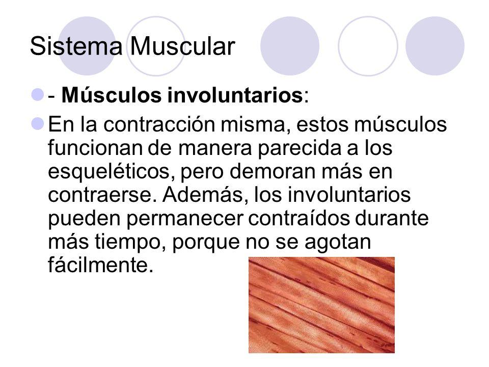 Sistema Muscular - Músculos involuntarios: En la contracción misma, estos músculos funcionan de manera parecida a los esqueléticos, pero demoran más en contraerse.
