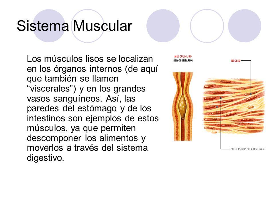 Sistema Muscular Los músculos lisos se localizan en los órganos internos (de aquí que también se llamen viscerales) y en los grandes vasos sanguíneos.