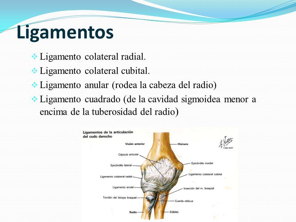 Ligamentos Ligamento colateral radial. Ligamento colateral cubital. Ligamento anular (rodea la cabeza del radio) Ligamento cuadrado (de la cavidad sig