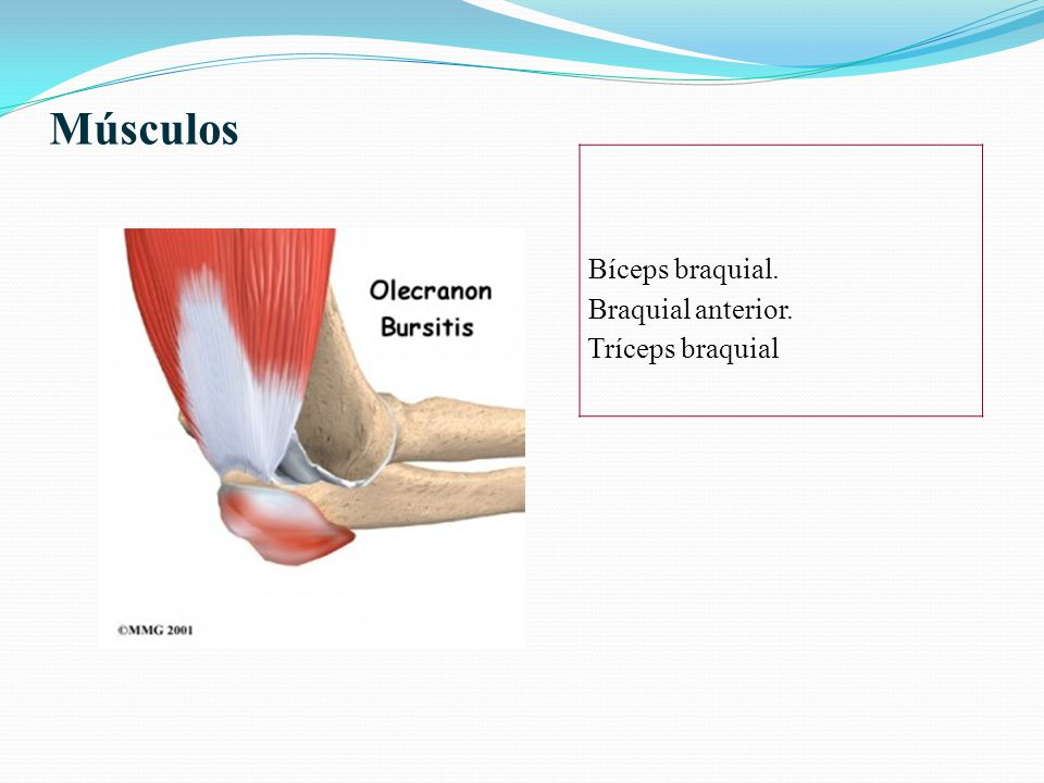 Músculos Bíceps braquial. Braquial anterior. Tríceps braquial