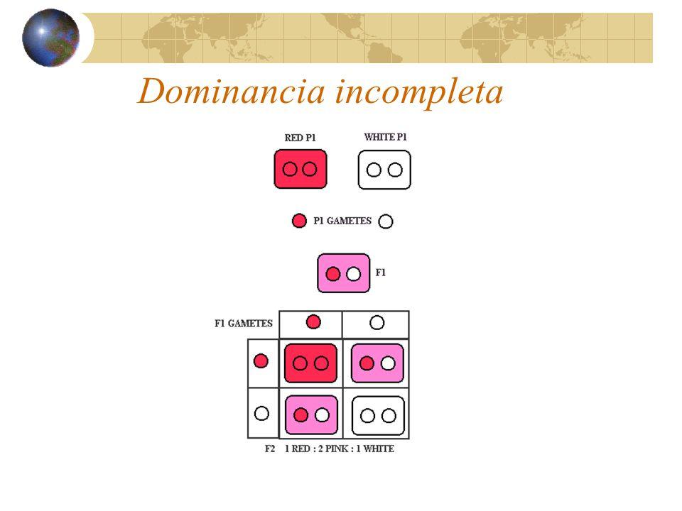 Codominancia (ejemplo): Antígenos de la serie M-N en los eritrocitos humanos: Población total: 200 personas 58 tipo M 101 tipo MN 41 tipo N Al expandir el binomio: [p(M)+q(N)] 2 = 0.294L M L M + 0.496L M L N + 0.209L N L N Si se multiplica cada una de las frecuencias x200, vemos que se acercan a los valores observados:.294x200=58.8,.496x200=99.2,.209x200=41.8 p(L M )= 58 + (½) 101 / 200 = 0.543 q(L N )= 41 + (½) 101 / 200 = 0.458