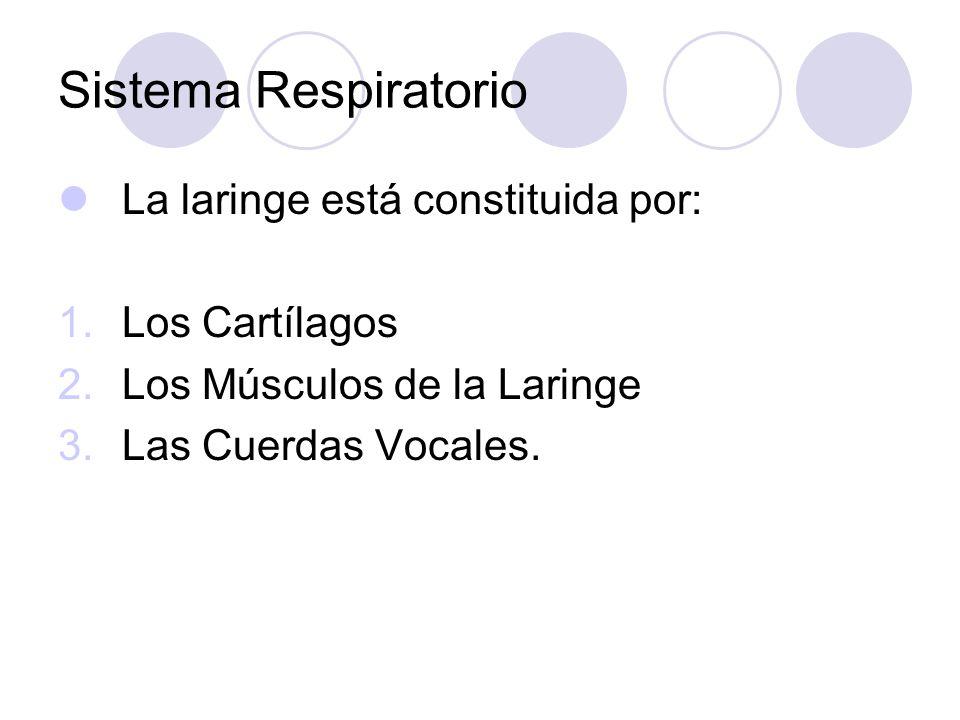 Sistema Respiratorio La laringe está constituida por: 1.Los Cartílagos 2.Los Músculos de la Laringe 3.Las Cuerdas Vocales.