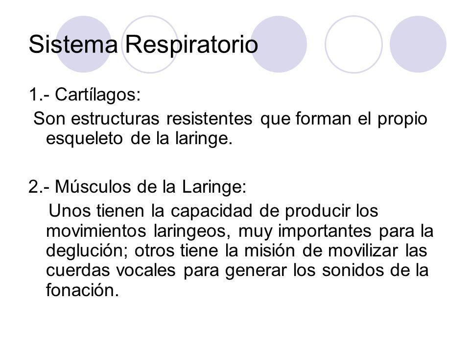 Sistema Respiratorio 1.- Cartílagos: Son estructuras resistentes que forman el propio esqueleto de la laringe.