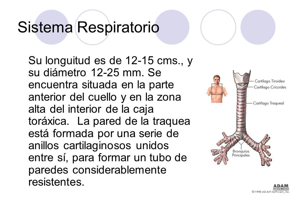 Sistema Respiratorio Su longuitud es de 12-15 cms., y su diámetro 12-25 mm.