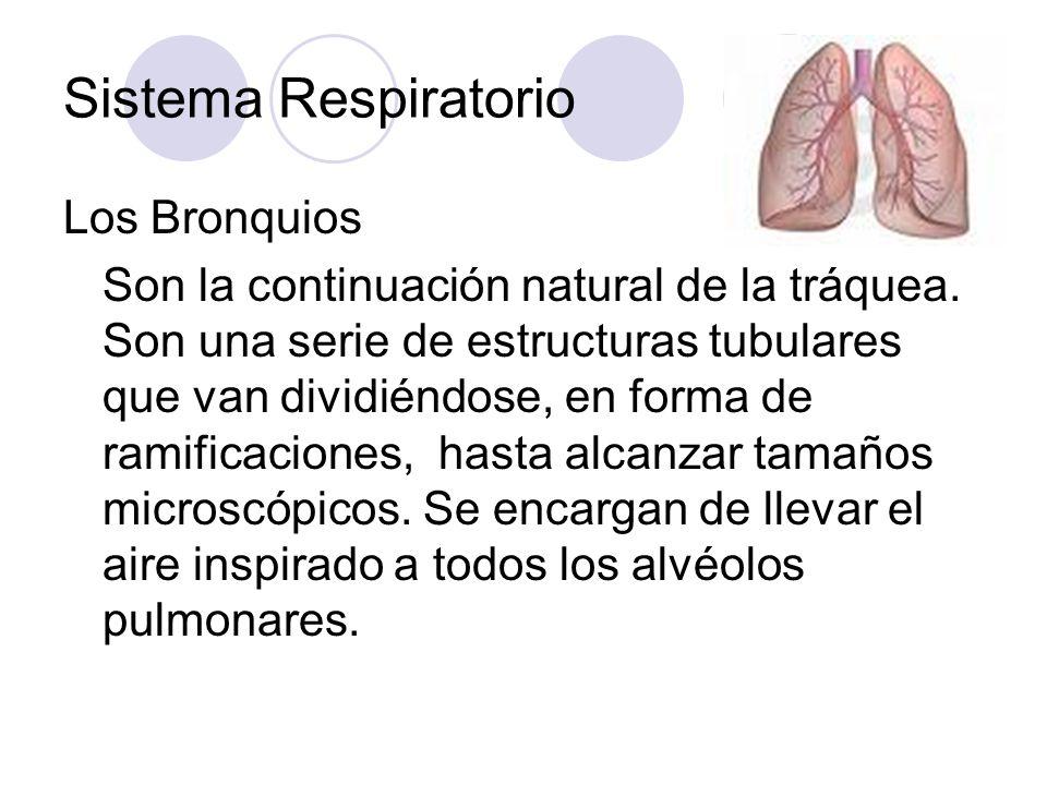 Sistema Respiratorio Los Bronquios Son la continuación natural de la tráquea.