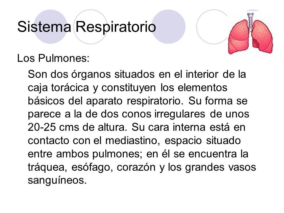 Sistema Respiratorio Los Pulmones: Son dos órganos situados en el interior de la caja torácica y constituyen los elementos básicos del aparato respiratorio.