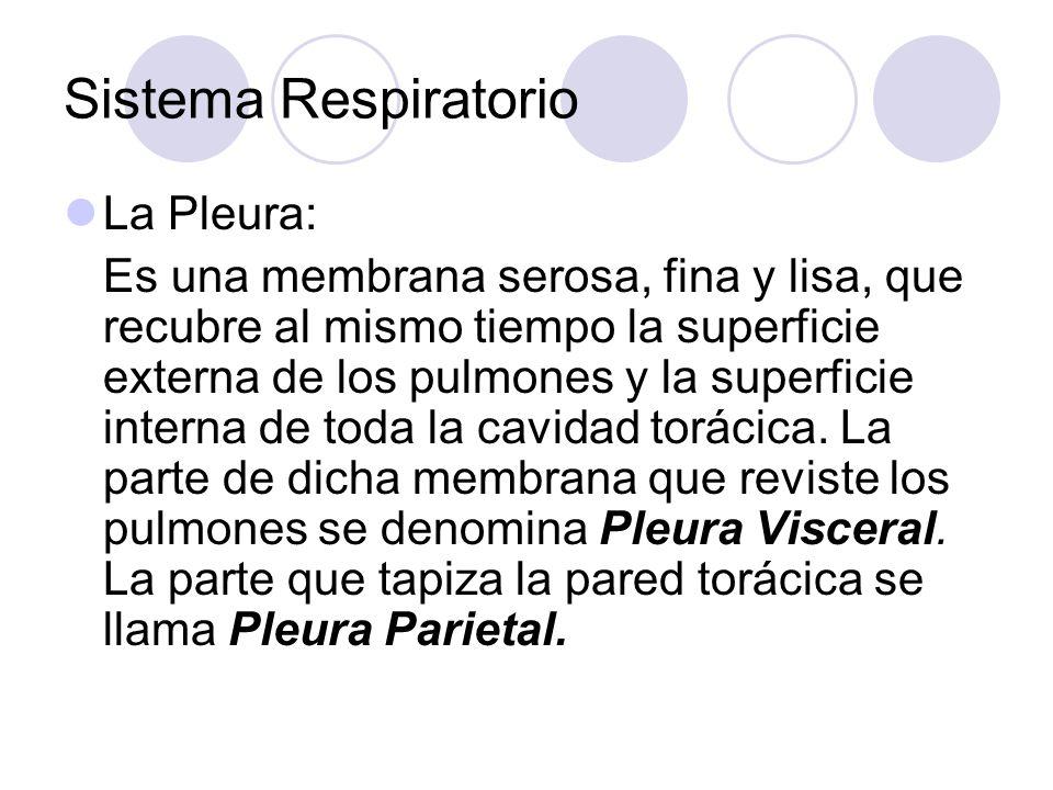 Sistema Respiratorio La Pleura: Es una membrana serosa, fina y lisa, que recubre al mismo tiempo la superficie externa de los pulmones y la superficie interna de toda la cavidad torácica.