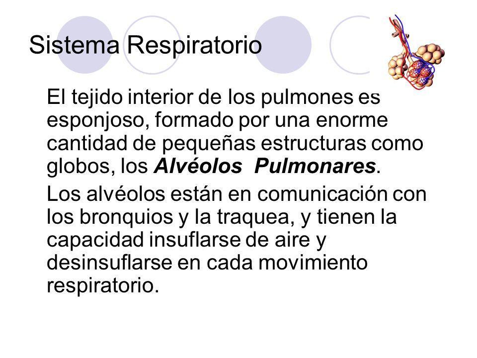 Sistema Respiratorio El tejido interior de los pulmones es esponjoso, formado por una enorme cantidad de pequeñas estructuras como globos, los Alvéolos Pulmonares.