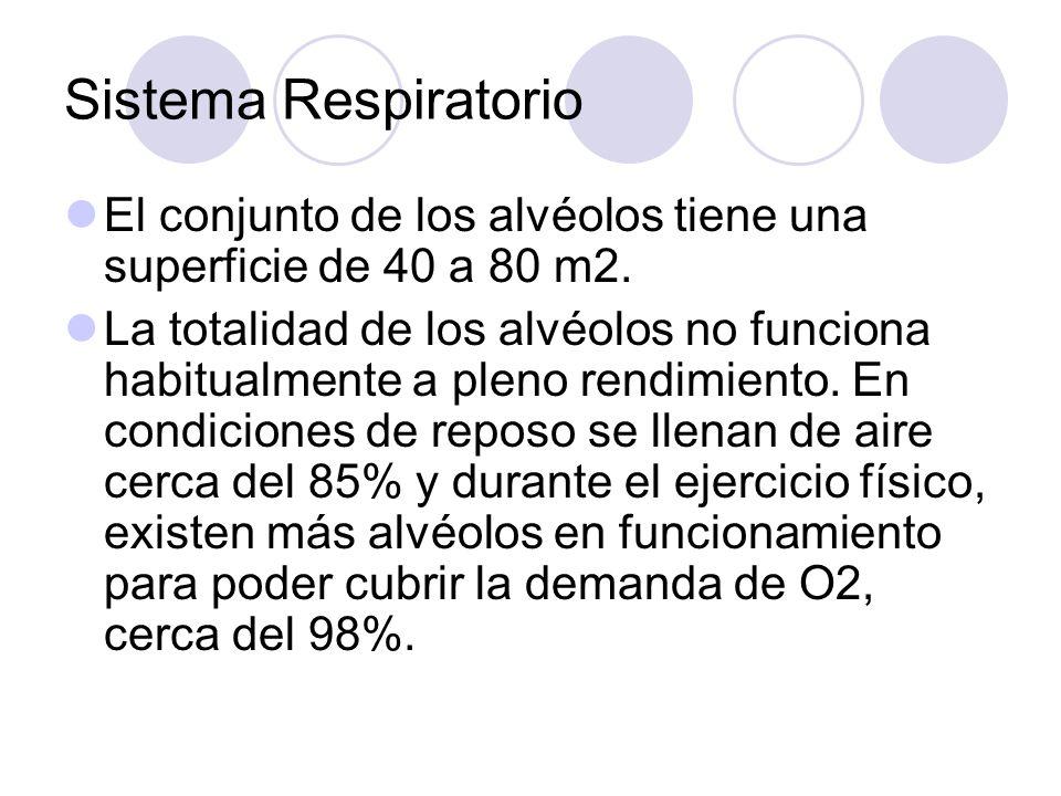 Sistema Respiratorio El conjunto de los alvéolos tiene una superficie de 40 a 80 m2.