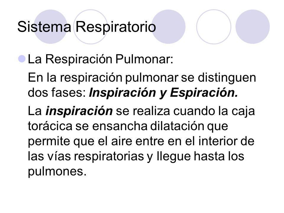 Sistema Respiratorio La Respiración Pulmonar: En la respiración pulmonar se distinguen dos fases: Inspiración y Espiración.