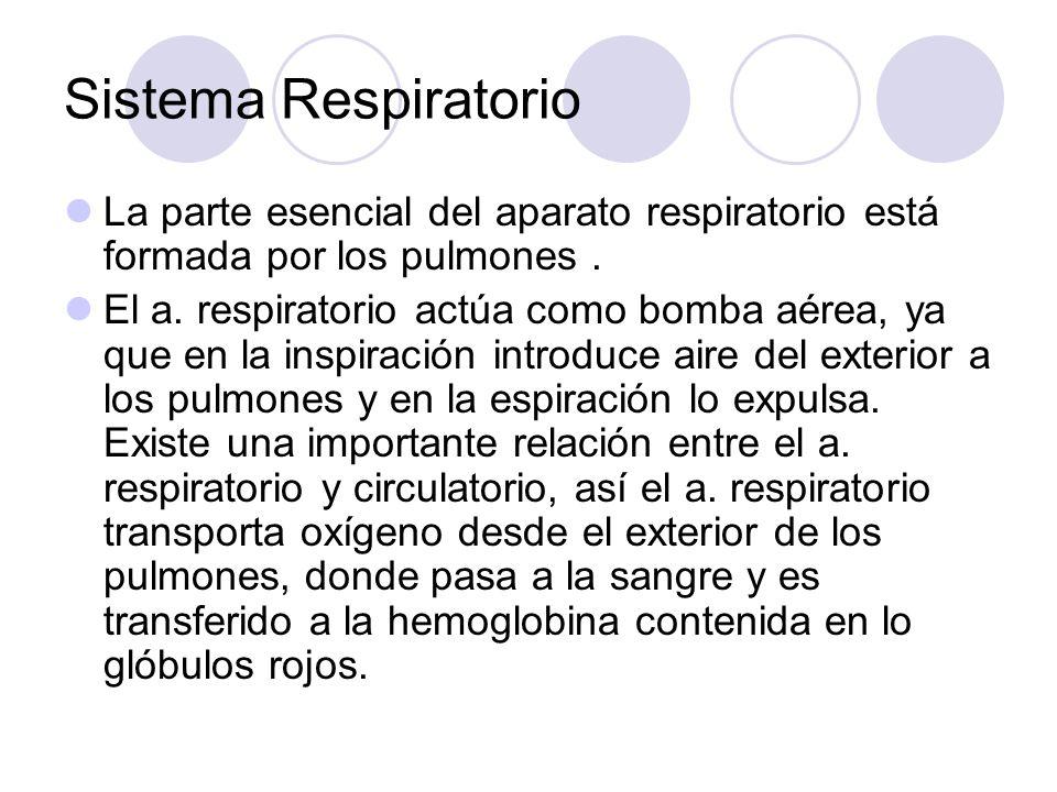 Sistema Respiratorio La parte esencial del aparato respiratorio está formada por los pulmones.