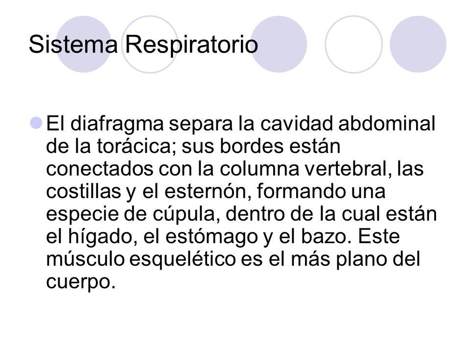 Sistema Respiratorio El diafragma separa la cavidad abdominal de la torácica; sus bordes están conectados con la columna vertebral, las costillas y el esternón, formando una especie de cúpula, dentro de la cual están el hígado, el estómago y el bazo.