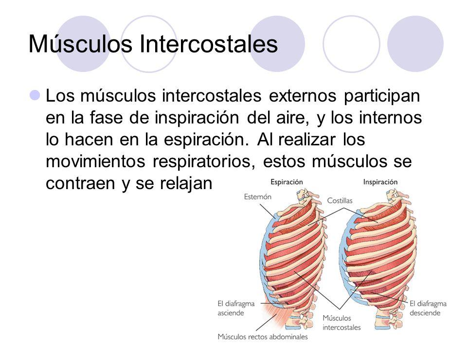 Músculos Intercostales Los músculos intercostales externos participan en la fase de inspiración del aire, y los internos lo hacen en la espiración.