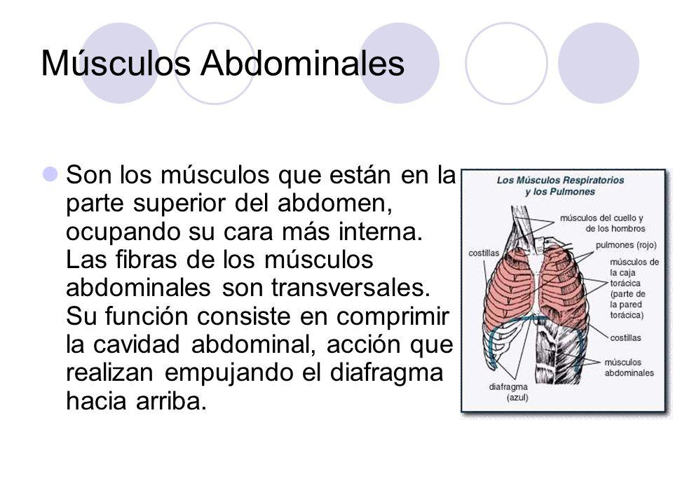 Músculos Abdominales Son los músculos que están en la parte superior del abdomen, ocupando su cara más interna.