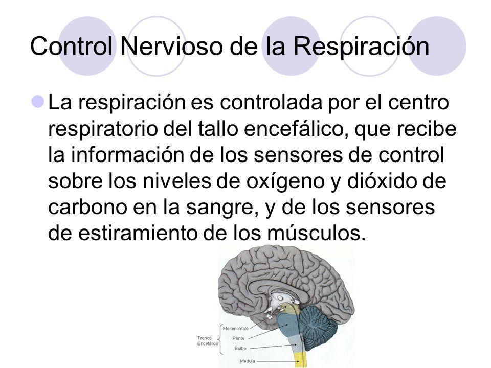 Control Nervioso de la Respiración La respiración es controlada por el centro respiratorio del tallo encefálico, que recibe la información de los sensores de control sobre los niveles de oxígeno y dióxido de carbono en la sangre, y de los sensores de estiramiento de los músculos.