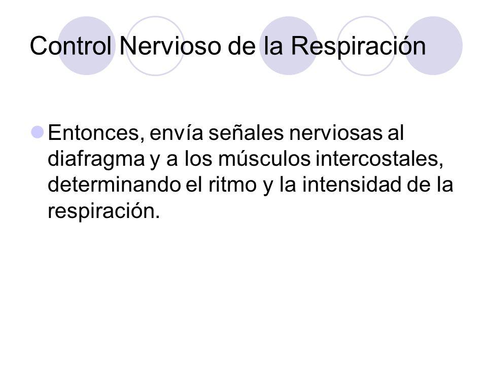 Control Nervioso de la Respiración Entonces, envía señales nerviosas al diafragma y a los músculos intercostales, determinando el ritmo y la intensidad de la respiración.
