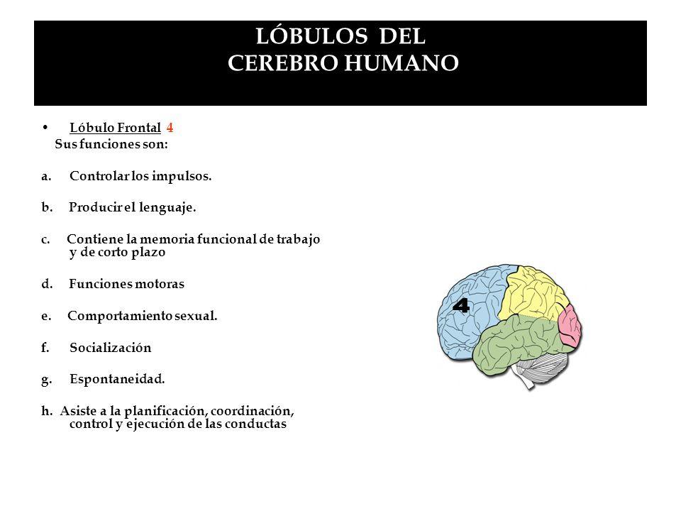 LÓBULOS DEL CEREBRO HUMANO Lóbulo Frontal 4 Sus funciones son: a.Controlar los impulsos. b. Producir el lenguaje. c. Contiene la memoria funcional de
