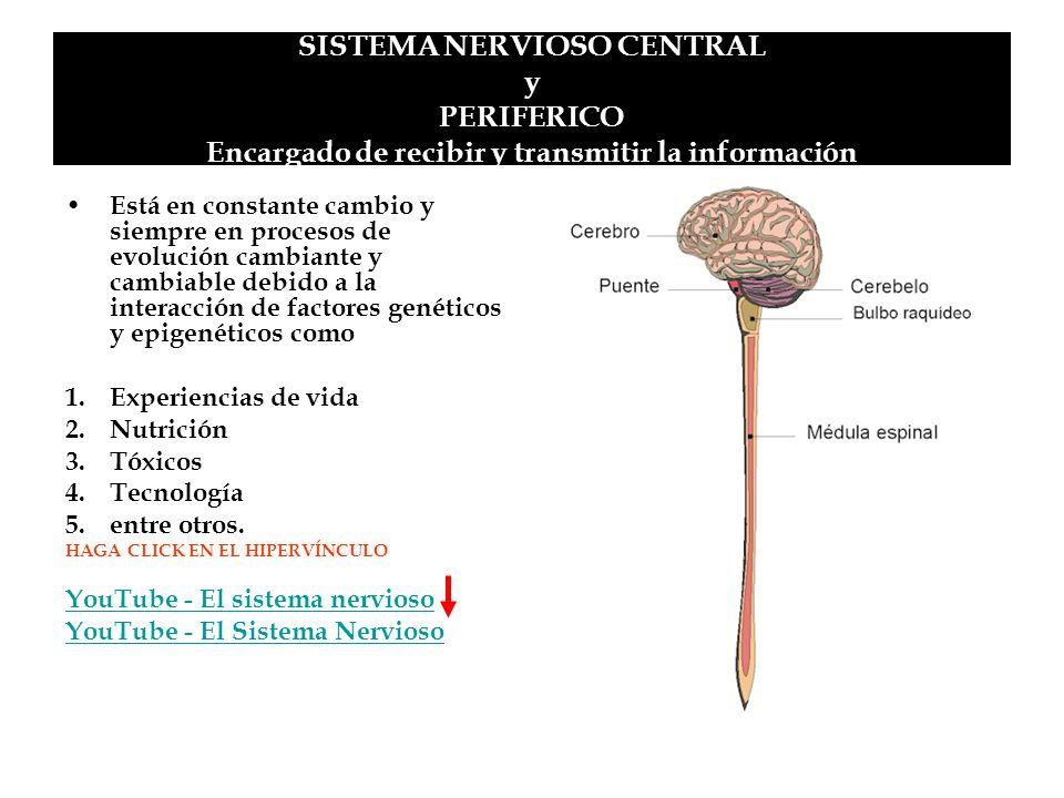 SISTEMA NERVIOSO CENTRAL y PERIFERICO Encargado de recibir y transmitir la información Está en constante cambio y siempre en procesos de evolución cam