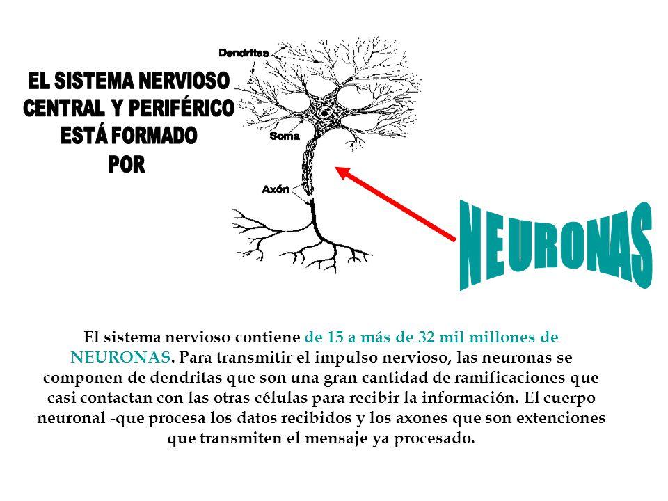 El sistema nervioso contiene de 15 a más de 32 mil millones de NEURONAS. Para transmitir el impulso nervioso, las neuronas se componen de dendritas qu
