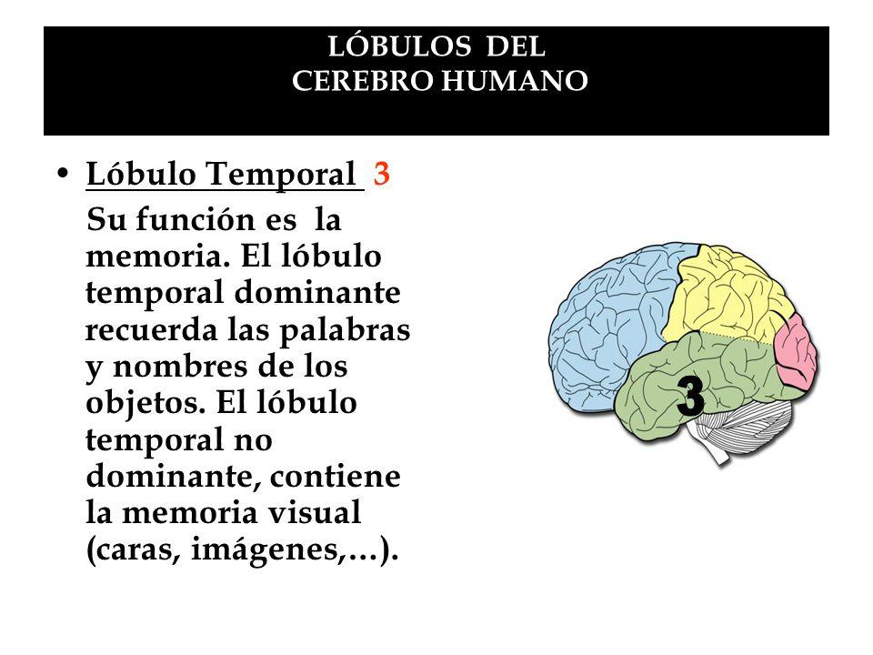 LÓBULOS DEL CEREBRO HUMANO Lóbulo Temporal 3 Su función es la memoria. El lóbulo temporal dominante recuerda las palabras y nombres de los objetos. El