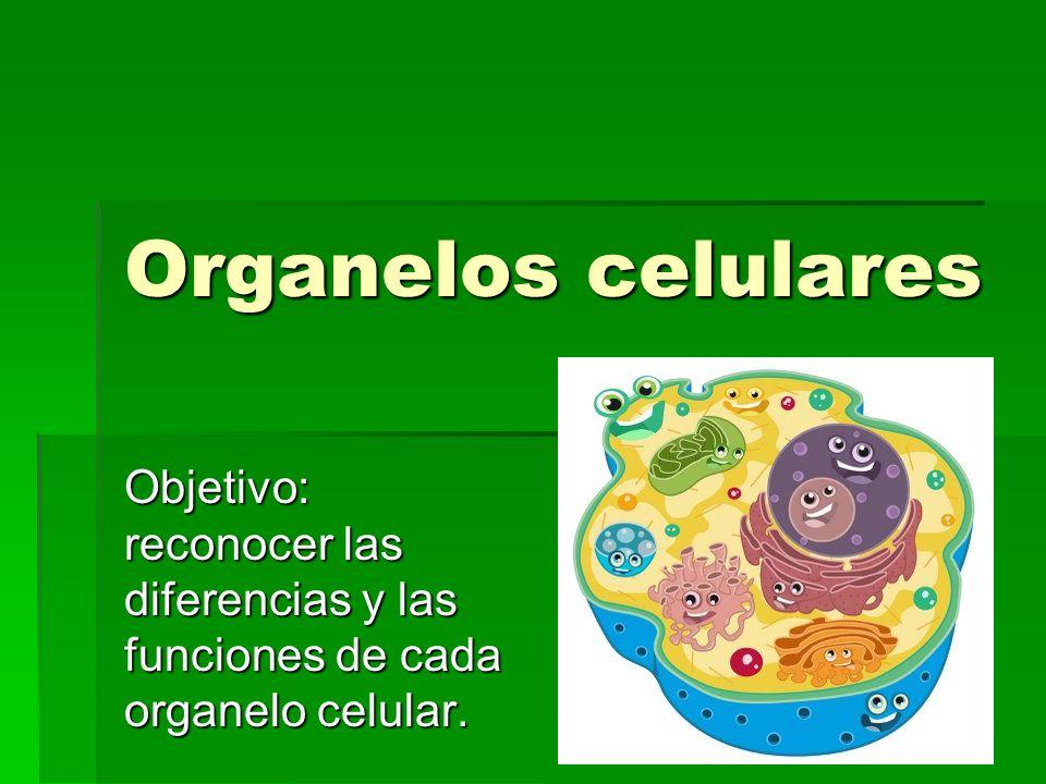 Organelos celulares Objetivo: reconocer las diferencias y las funciones de cada organelo celular.