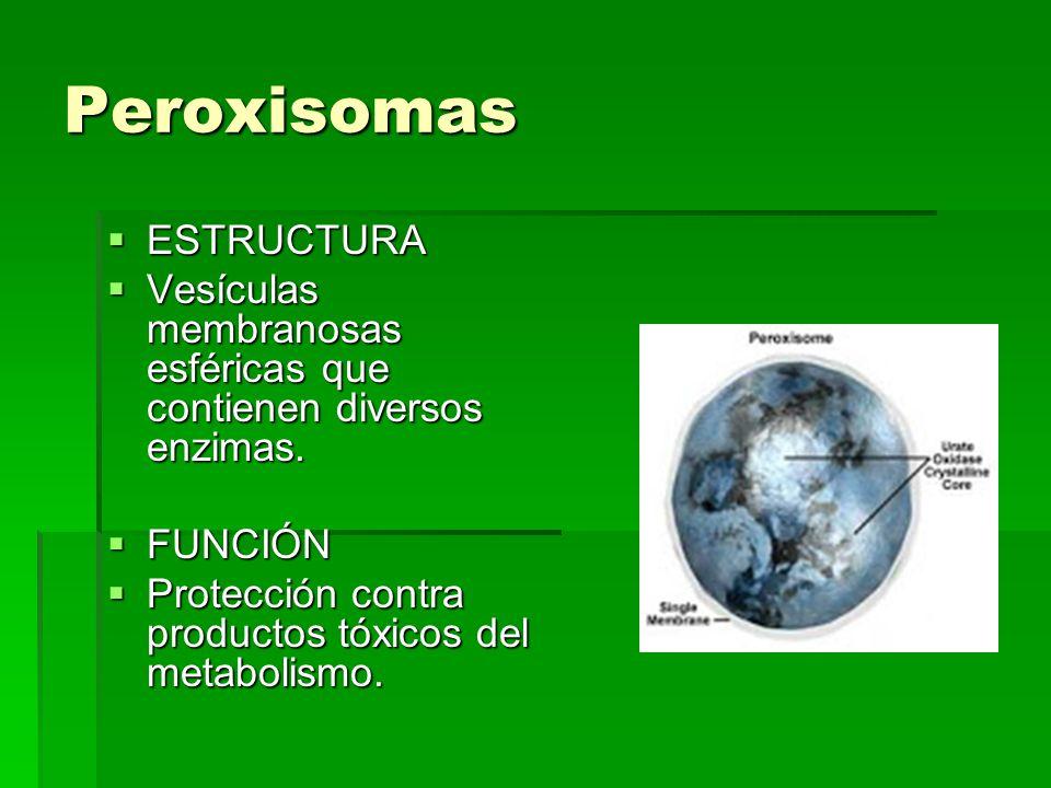 Peroxisomas ESTRUCTURA ESTRUCTURA Vesículas membranosas esféricas que contienen diversos enzimas. Vesículas membranosas esféricas que contienen divers
