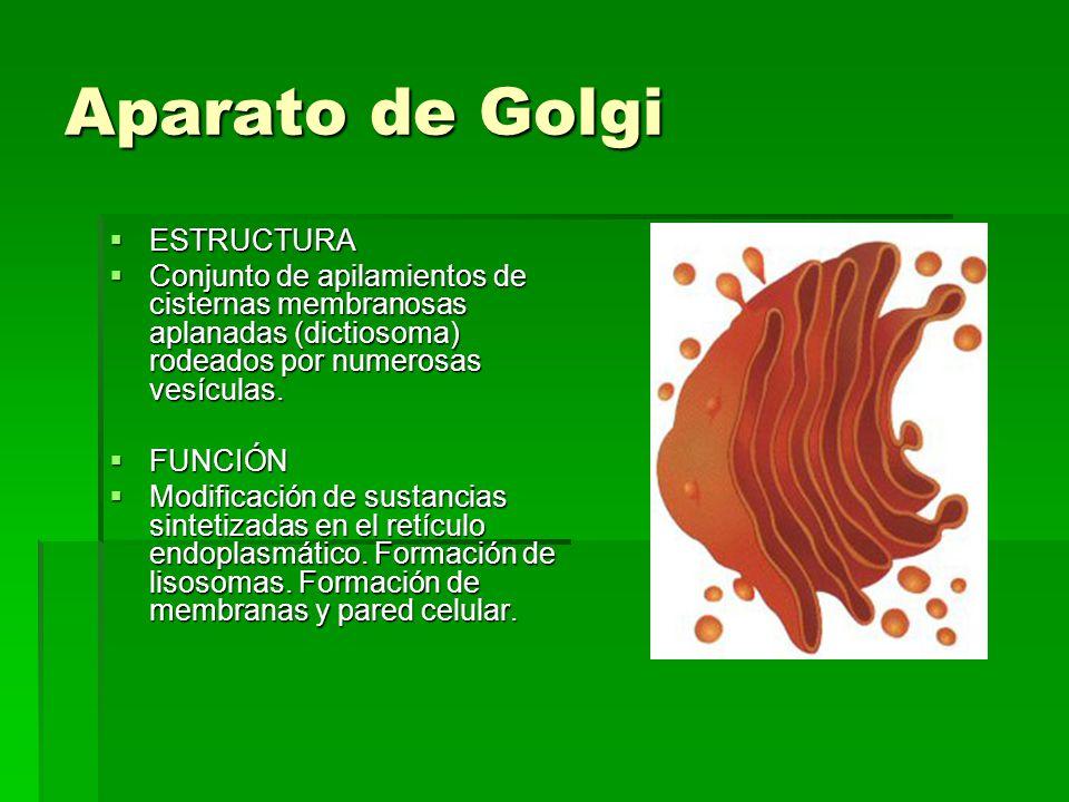 Aparato de Golgi ESTRUCTURA ESTRUCTURA Conjunto de apilamientos de cisternas membranosas aplanadas (dictiosoma) rodeados por numerosas vesículas. Conj