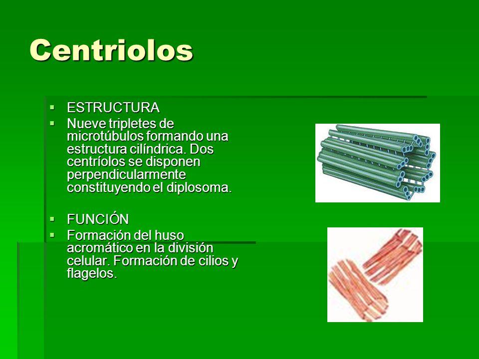 Centriolos ESTRUCTURA ESTRUCTURA Nueve tripletes de microtúbulos formando una estructura cilíndrica. Dos centríolos se disponen perpendicularmente con