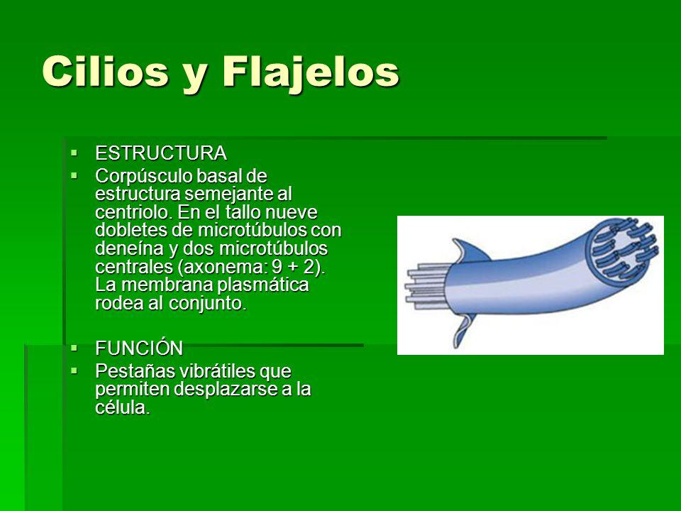 Cilios y Flajelos ESTRUCTURA ESTRUCTURA Corpúsculo basal de estructura semejante al centriolo. En el tallo nueve dobletes de microtúbulos con deneína