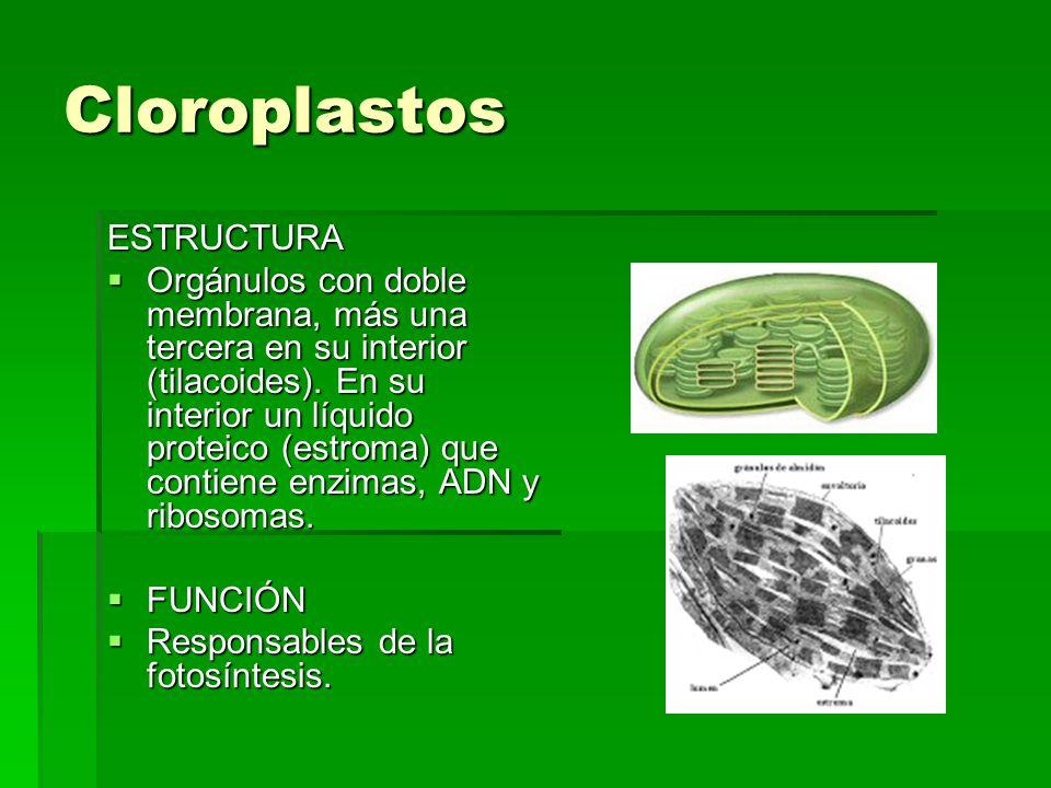 Cloroplastos ESTRUCTURA Orgánulos con doble membrana, más una tercera en su interior (tilacoides). En su interior un líquido proteico (estroma) que co