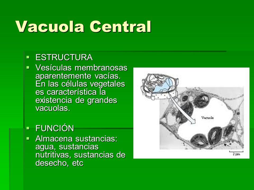 Vacuola Central ESTRUCTURA ESTRUCTURA Vesículas membranosas aparentemente vacías. En las células vegetales es característica la existencia de grandes