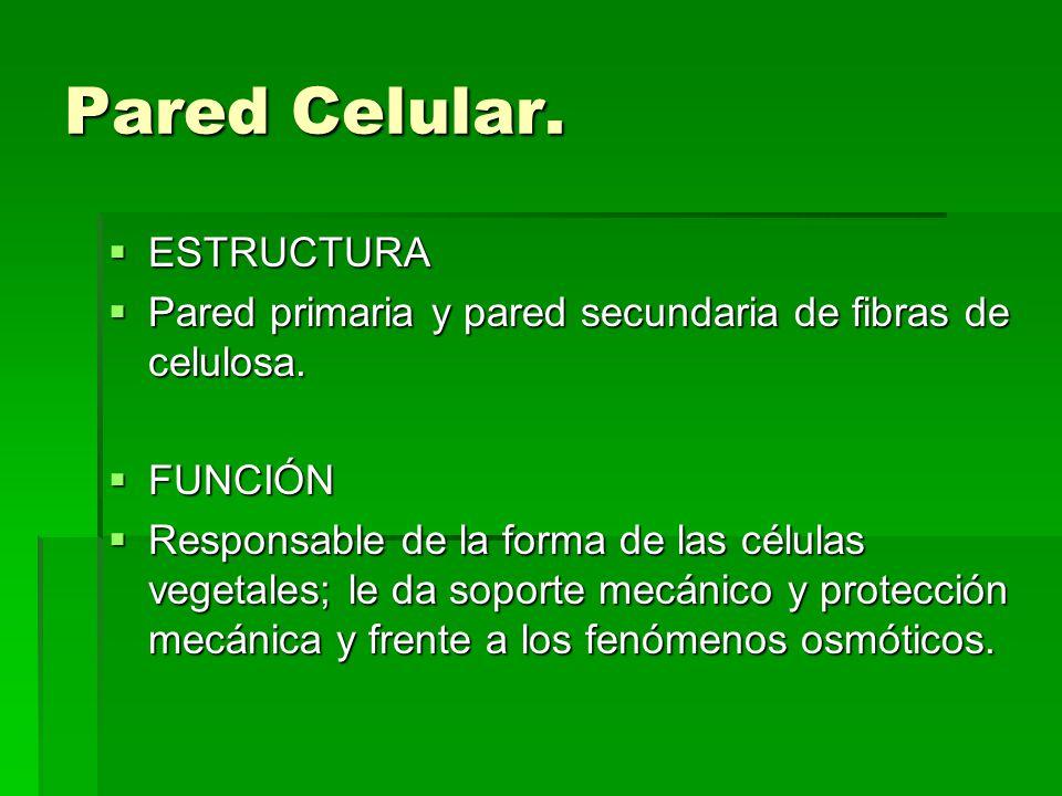 Pared Celular. ESTRUCTURA ESTRUCTURA Pared primaria y pared secundaria de fibras de celulosa. Pared primaria y pared secundaria de fibras de celulosa.
