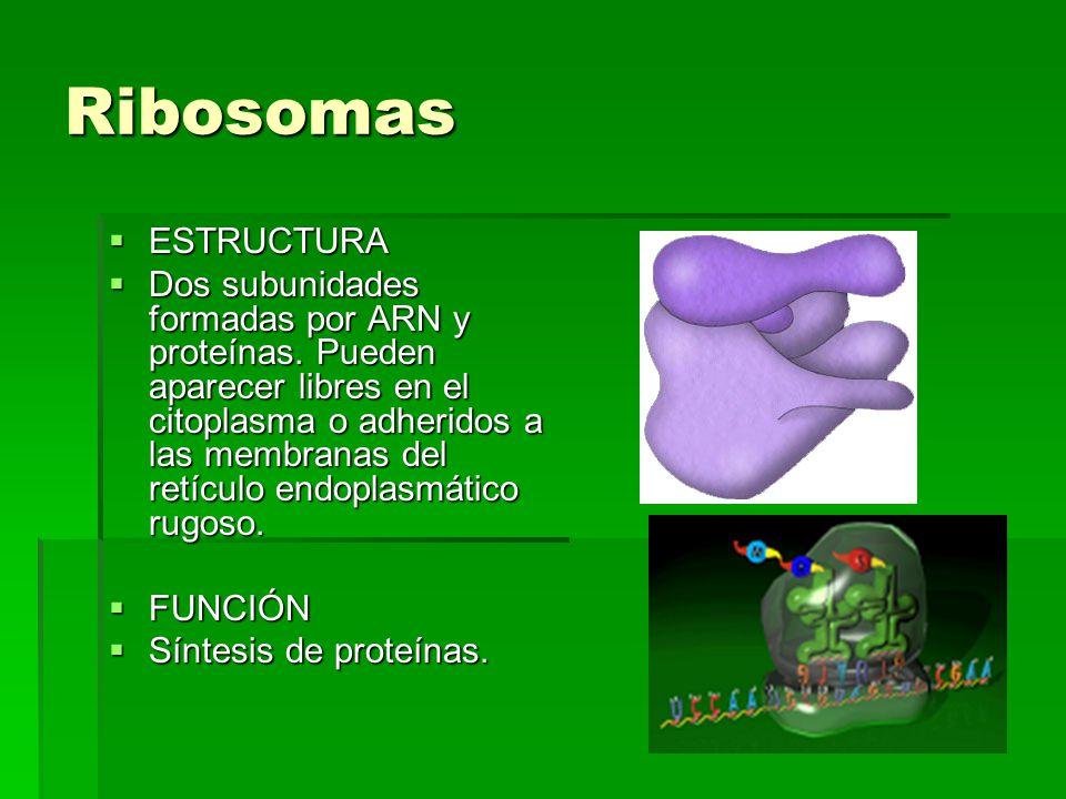 Ribosomas ESTRUCTURA ESTRUCTURA Dos subunidades formadas por ARN y proteínas. Pueden aparecer libres en el citoplasma o adheridos a las membranas del