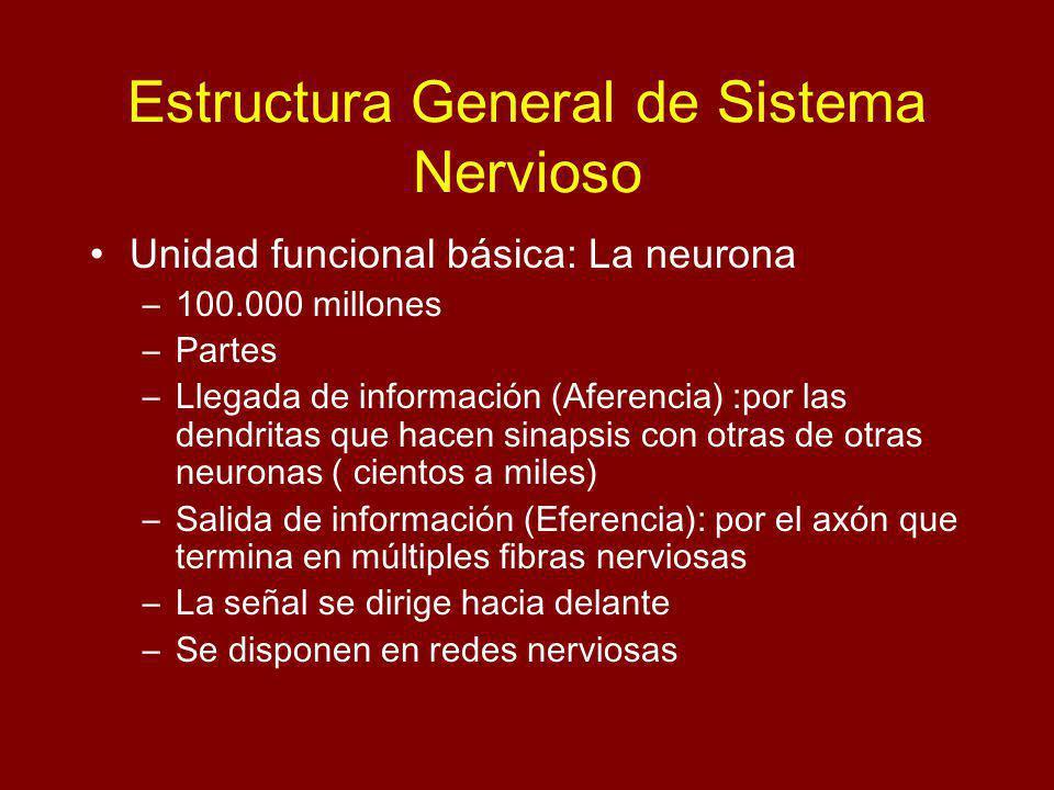Estructura General de Sistema Nervioso Unidad funcional básica: La neurona –100.000 millones –Partes –Llegada de información (Aferencia) :por las dendritas que hacen sinapsis con otras de otras neuronas ( cientos a miles) –Salida de información (Eferencia): por el axón que termina en múltiples fibras nerviosas –La señal se dirige hacia delante –Se disponen en redes nerviosas