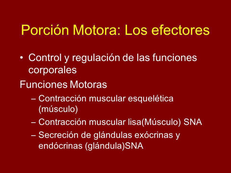 Porción Motora: Los efectores Control y regulación de las funciones corporales Funciones Motoras –Contracción muscular esquelética (músculo) –Contracción muscular lisa(Músculo) SNA –Secreción de glándulas exócrinas y endócrinas (glándula)SNA