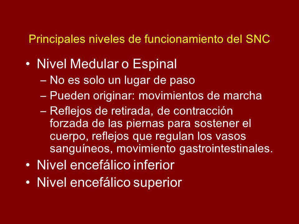 Principales niveles de funcionamiento del SNC Nivel Medular o Espinal –No es solo un lugar de paso –Pueden originar: movimientos de marcha –Reflejos de retirada, de contracción forzada de las piernas para sostener el cuerpo, reflejos que regulan los vasos sanguíneos, movimiento gastrointestinales.