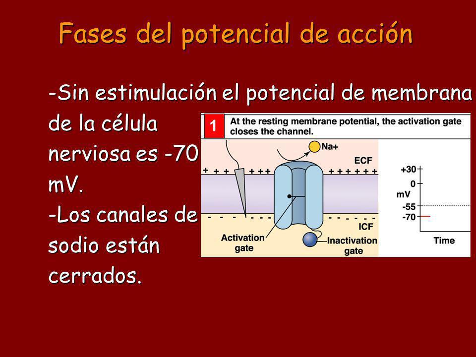 Fases del potencial de acción 1 -Sin estimulación el potencial de membrana de la célula nerviosa es -70 mV. -Los canales de sodio están cerrados.