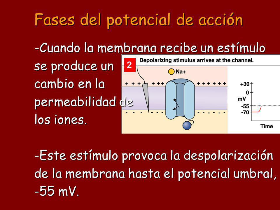 Fases del potencial de acción 2 -Cuando la membrana recibe un estímulo se produce un cambio en la permeabilidad de los iones. -Este estímulo provoca l