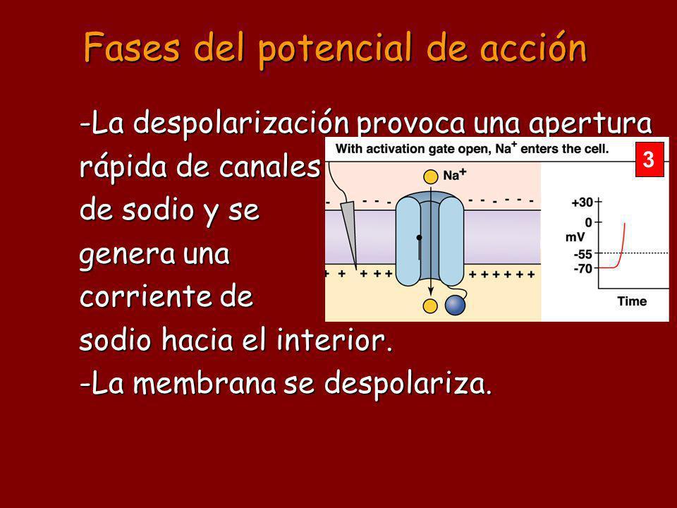 -La despolarización provoca una apertura rápida de canales de sodio y se genera una corriente de sodio hacia el interior.