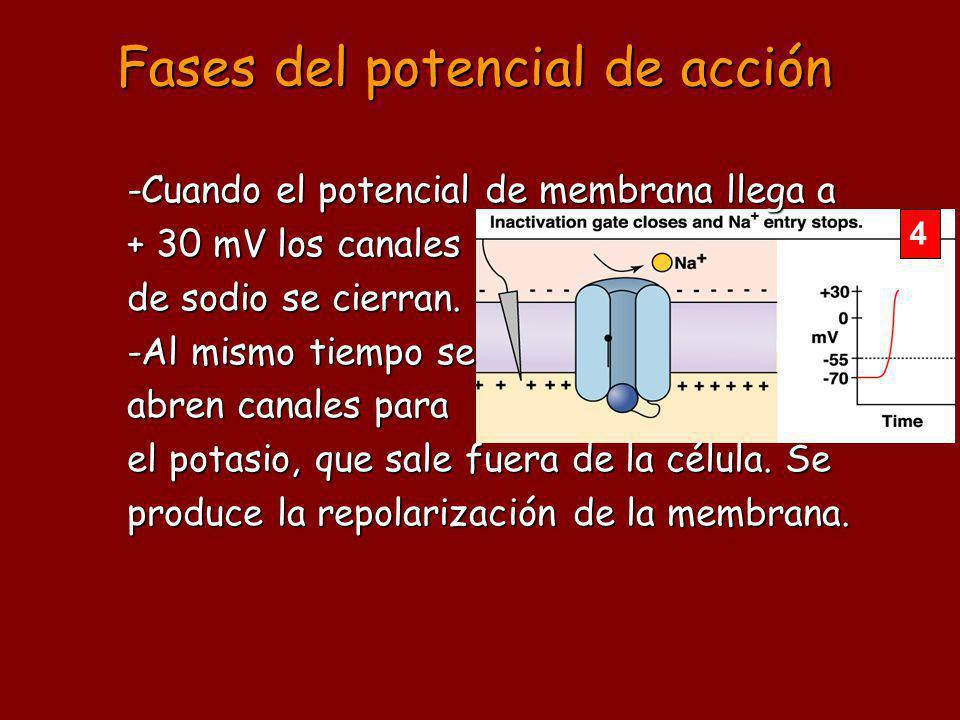 4 -Cuando el potencial de membrana llega a + 30 mV los canales de sodio se cierran. -Al mismo tiempo se abren canales para el potasio, que sale fuera