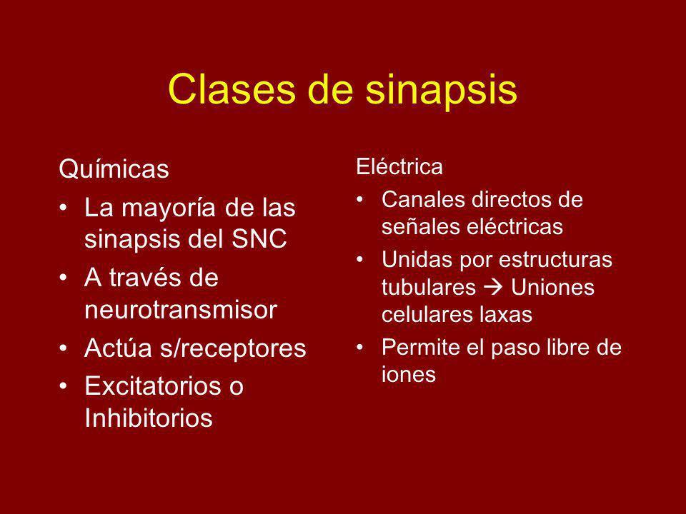 Clases de sinapsis Químicas La mayoría de las sinapsis del SNC A través de neurotransmisor Actúa s/receptores Excitatorios o Inhibitorios Eléctrica Canales directos de señales eléctricas Unidas por estructuras tubulares Uniones celulares laxas Permite el paso libre de iones
