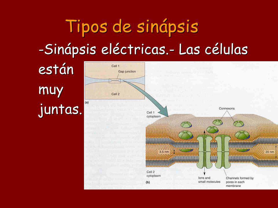 Tipos de sinápsis -Sinápsis eléctricas.- Las células estánmuyjuntas.