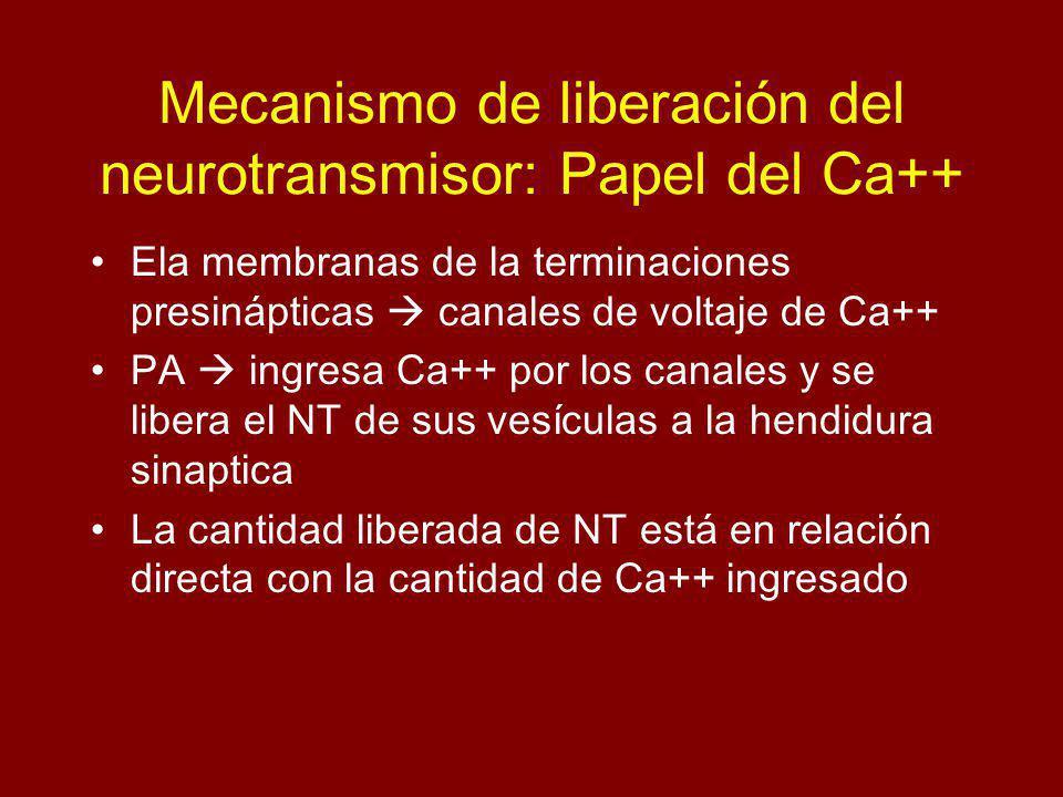 Mecanismo de liberación del neurotransmisor: Papel del Ca++ Ela membranas de la terminaciones presinápticas canales de voltaje de Ca++ PA ingresa Ca++ por los canales y se libera el NT de sus vesículas a la hendidura sinaptica La cantidad liberada de NT está en relación directa con la cantidad de Ca++ ingresado