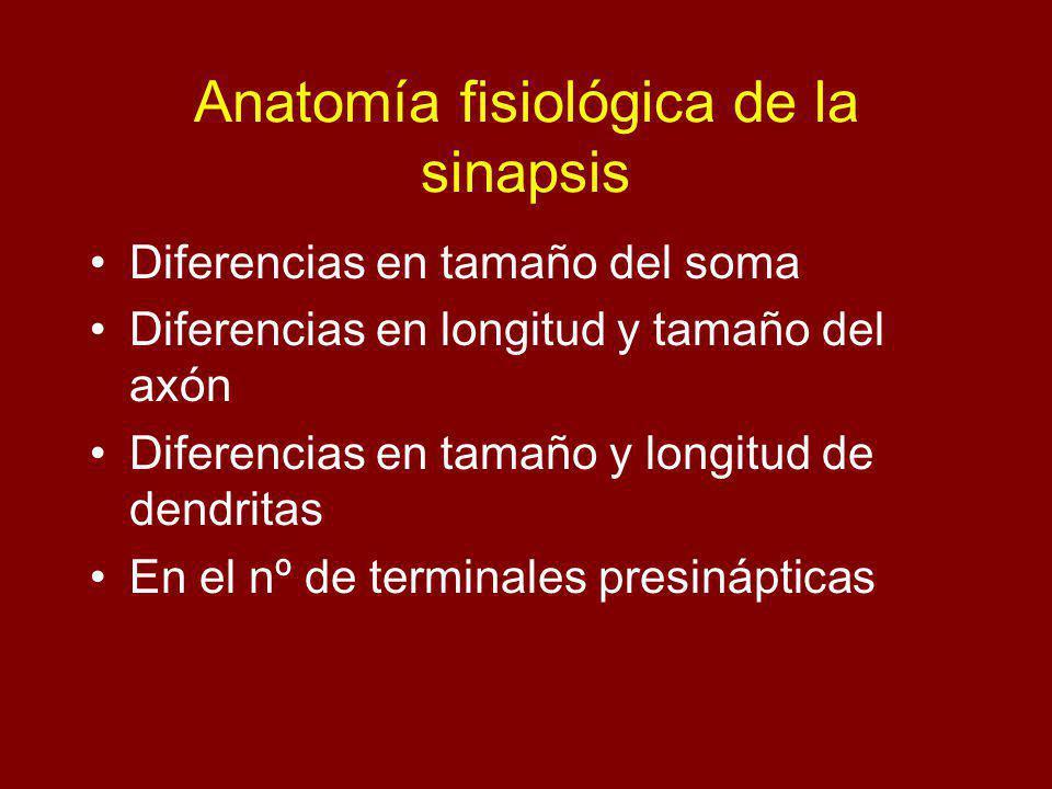Anatomía fisiológica de la sinapsis Diferencias en tamaño del soma Diferencias en longitud y tamaño del axón Diferencias en tamaño y longitud de dendritas En el nº de terminales presinápticas