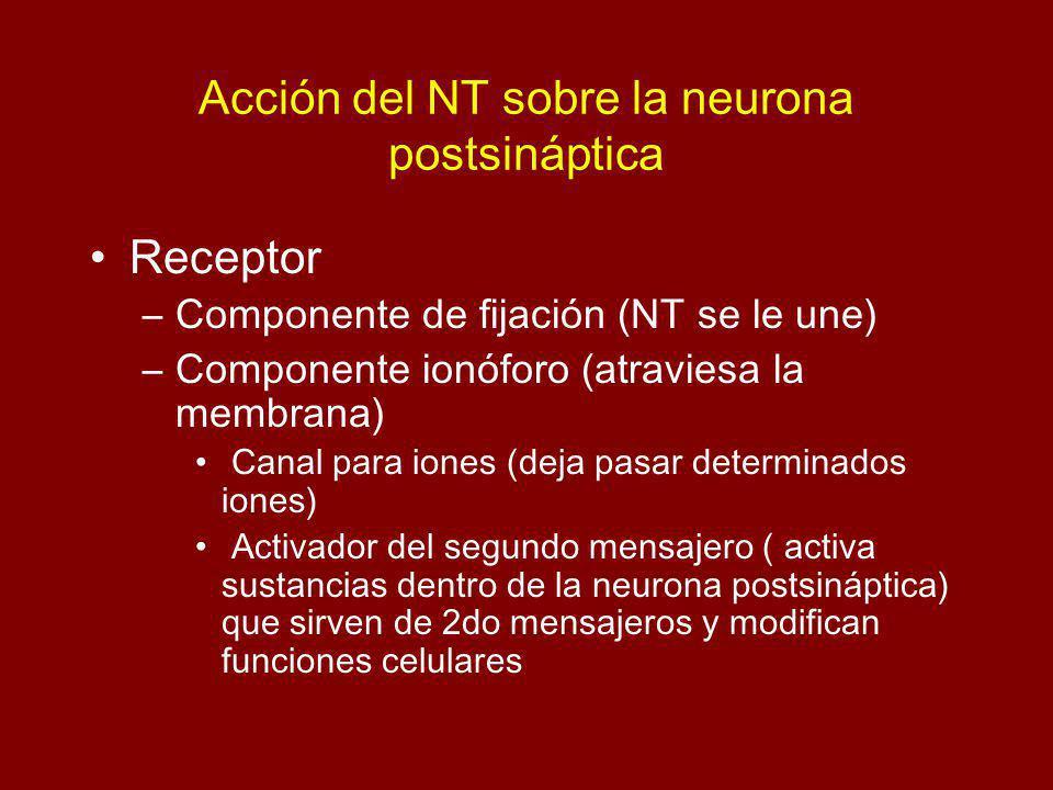 Acción del NT sobre la neurona postsináptica Receptor –Componente de fijación (NT se le une) –Componente ionóforo (atraviesa la membrana) Canal para iones (deja pasar determinados iones) Activador del segundo mensajero ( activa sustancias dentro de la neurona postsináptica) que sirven de 2do mensajeros y modifican funciones celulares